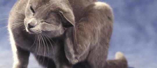 Puces pour chat